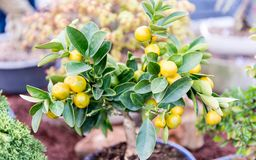 Close up of small tangerine tree, shallow dept of field. Close up of small tangerine tree cultivated in greenhouse, shallow dept of field stock photo