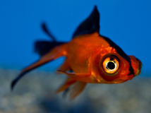 Close up small Telescope goldfish. Young Orange and black Demkin goldfish in tropical aquarium with blue background. Carassius auratus sideview. Celestial Royalty Free Stock Image
