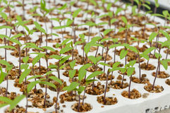 Close-up of small tomato plants in a greenhouse Stock Image