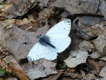 Close-up of small white butterfly resting on brown leaves royalty free stock photos