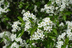 Close up of small white flowers of hagberry stock image