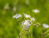 Close up of small white wildflower Royalty Free Stock Images