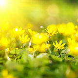Close-up of small yellow flowers Stock Images