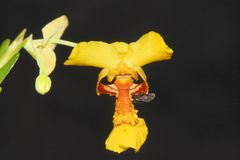 Close up of a small yellow orchid. Wonderful close up of a small yellow orchid flower Stock Photos