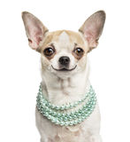 Close-up of a smiling Chihuahua (2 years old) wearing a necklace stock image