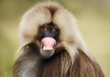 Close up of a smiling Gelada monkey showing off his gums. Close up of a smiling Gelada monkey Theropithecus gelada showing off his gums, Simien mountains royalty free stock photography