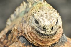 Close up of a smiling iguana stock photo