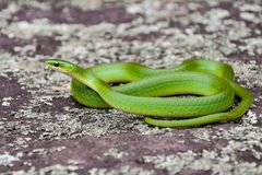 Smooth Green Snake. A close up of a Smooth Green Snake in natural habitat royalty free stock photo