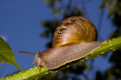 Close up snail. Close up shot of a garden snail Royalty Free Stock Image