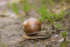 Close-up of a snail crawling on the ground. Close-up of a snail crawling on the ground after the rain stock photography