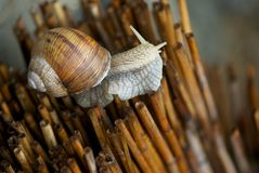 Close-up Snail Royalty Free Stock Photos