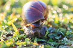 Close up snail on grass Royalty Free Stock Photos