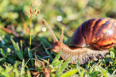 Close up snail on grass Stock Photography