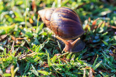 Close up snail on grass Royalty Free Stock Photo