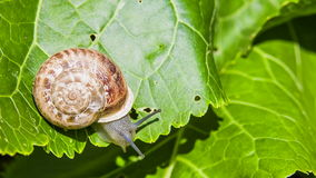Close-up: Snail On a Green Leaf Stock Photos