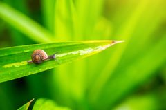 Close up snail on the green leave in the moring. snail sign of moisture and rainy. natural wallpaper. Alive with nature life concept stock photo
