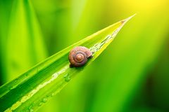 Close up snail on the green leave in the moring. snail sign of moisture and rainy. natural wallpaper. Alive with nature life concept royalty free stock photos