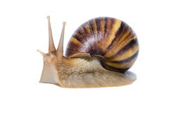 Close up of Snail isolated on white background. Stock Photography