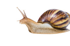Close up of Snail isolated on white background. Royalty Free Stock Image