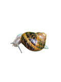 Close up Snail Isolated on White Royalty Free Stock Photos