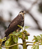 Close-up of a Snail Kite Royalty Free Stock Photography