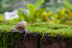 Close up snail on moss mat Royalty Free Stock Photography