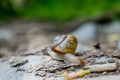 Close up of Snail on Rock Royalty Free Stock Image