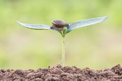 Close up snail on seed young plant. In morning Stock Images