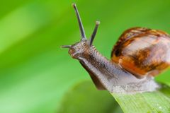 Close-up of a snail sitting on the leaf Stock Image