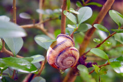 Close-up of a snail on the tree. In the dew Royalty Free Stock Images