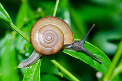 Close-up of snail walking on the leaf. Stock Photo