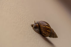 Close-up of snail walking Royalty Free Stock Images