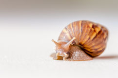 Close-up of snail walking Royalty Free Stock Image