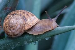 Close up on the snail on wet green leaves Royalty Free Stock Images