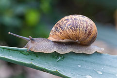 Close up on the snail on wet green leaves Royalty Free Stock Photography
