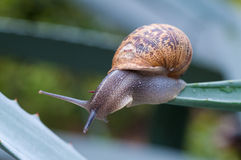 Close up on the snail on wet green leaves Stock Photo