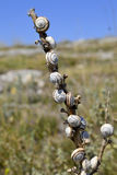 Close-up of snails on a stick Stock Image