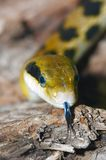 Close-up of a snake Royalty Free Stock Photography