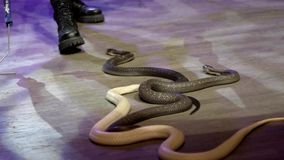 Close-up of snake in circus. Action. Charmer collects snakes creeping in circus arena during performance. Dangerous. Performance with poisonous cobras in circus stock footage