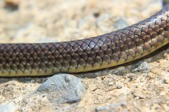 Close-up of snakeskin. On the floor Royalty Free Stock Photo