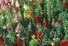 Close-up of snapdragons in bloom, Tampa, FL Stock Image