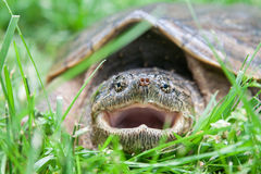 Close up of a snapping turtle mouth royalty free stock images