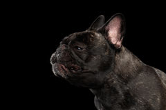 Close-up sneezes French Bulldog Dog in Profile view Isolated Royalty Free Stock Photography