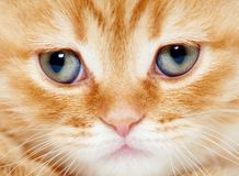 Close up snout of British shorthair kitten cat Stock Images