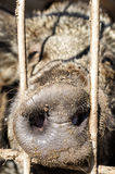 Close up of snout of forest pig Royalty Free Stock Photo