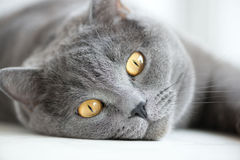 Close-up of snout of gray british cat Stock Photo