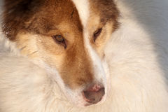 Close-up snout of husky dog Stock Photos