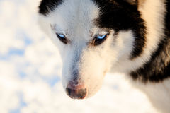 Close up on a snout of a husky dog. Winter view. Stock Photos