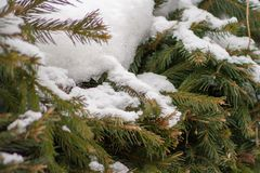 Close up of snow on the branches of spruce royalty free stock images