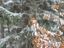 Close up snow covered orange alder leaves and spruce tree branch royalty free stock image